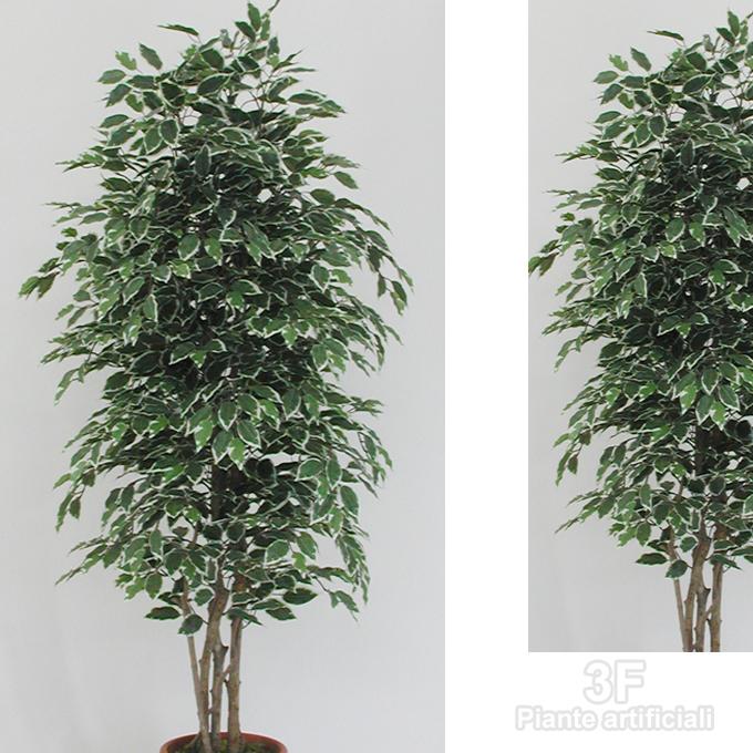 Good Ficus Benjamin Medium X With Ficus Benjamin Cura E.