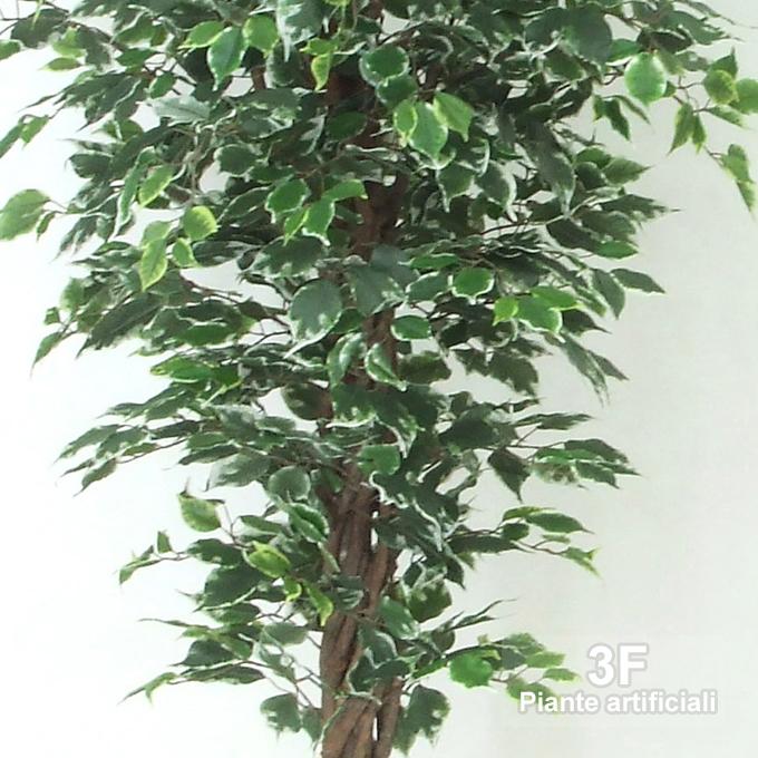 Ficus elegance liana 44 altezza cm 175 vaso cm 24 for 44 175