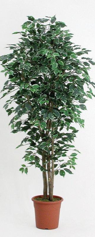 Ficus elegance 44 altezza cm 175 vaso cm 24 3f for 44 175
