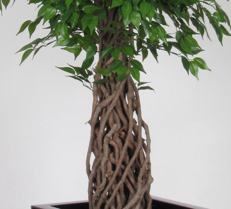 Ficus mini jumbo liana altezza cm 150 vaso cm 20 - Alberi da interno ...