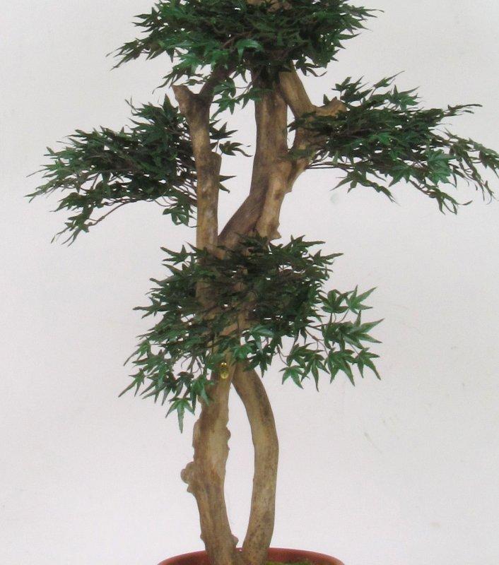 Acero mini japan trunk altezza cm 185 vaso cm 30 for Piante per interni
