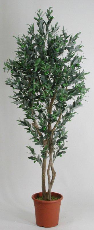 Ulivo medium altezza cm 175 vaso cm 24 3f piante for Acquisto piante ulivo